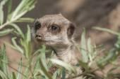 Meerkat explores — Photo