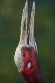 White-naped crane flaps its beak. — Stock Photo