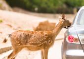 Deer safari — Stock Photo