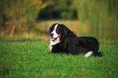 Hund auf dem gras liegend — Stockfoto