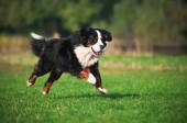 Dog running on the grass — Stock Photo