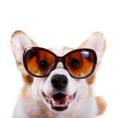 Isolated dog in sunglasses on white background — Stock Photo