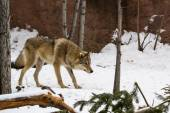 Wolf is ready to attack in snow forest — Stock Photo