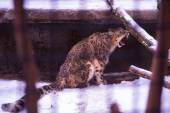 Leopard growls behind bars in zoo — Stock Photo