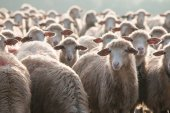 Flock of sheep — Stock Photo