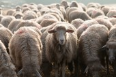 Only one sheep see the camera think different — Stock Photo