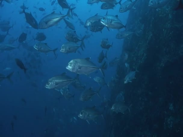 School of Big Eye Jacks fish — Vidéo