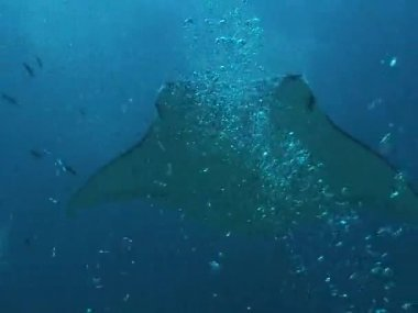 Manta Rays floating  underwater  among other fish — Stockvideo
