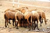 Manada de comer ovejas Barbado Blackbelly — Foto de Stock