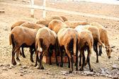 Stádo jíst ovce Barbado Blackbelly — Stock fotografie
