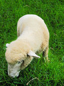 Sheep is eating grass — Stock Photo