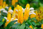 Lollipop Plant (Golden Shrimp Plant) In The Garden — Stock Photo