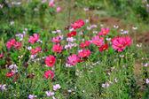 Hot Pink Garden Cosmos — Stock Photo