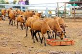 Herd of eating Barbado Blackbelly sheep — Fotografia Stock
