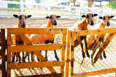 Barbado Blackbelly Sheep focusing the attention — Stock Photo