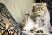 Naughty yellow eyed cat staring at the corner and playing her feet — Stock Photo