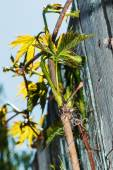 Escape parthenocissus against the sky and an old fence — Stock Photo