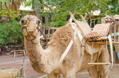 Camel ready for a ride — Stock Photo