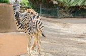 Mother and baby zebra. — Stock Photo