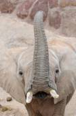Elephant looking at camera. — Stock Photo