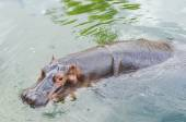 The hippo bathing in the pond. — Photo