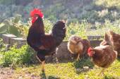 Rooster and hens on nature background. — Stock Photo