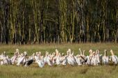 Pelicans in front of Yellow Acacia forest — Stock Photo