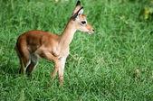 Young Impala — Stock Photo