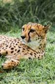 Backyard Cheetah — Stock Photo