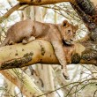 Lionness in the Tree — Stock Photo #59482515