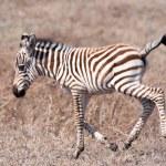 Baby Zebra — Stock Photo #59483505