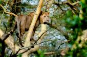 Young Lion in Tree — Stock Photo