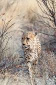 Prowling Cheetah — Stock Photo
