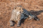 Cheetah Lying Down — Stock Photo