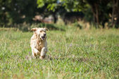 Golden Retriever Running — Stock Photo