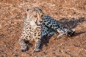 Cheetah lying in the sand — Stock Photo