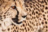 Cheetah i Veld — Stockfoto