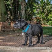 Labrador Puppy — Stock Photo