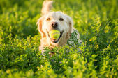 Golden Retriever Fetching the Ball — Stock Photo