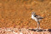 Lapwing Chick at Lake — Stock Photo