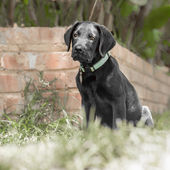 Labrador Puppy by the Wall — Stock Photo