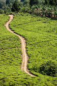Bright green teafields with sand road passing through. — Stock Photo