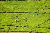 Workers Picking Tea in Tanzania — Stock Photo