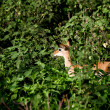 Постер, плакат: Baby Impala among green bushes