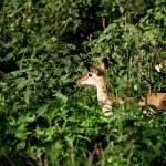������, ������: Baby Impala among green bushes