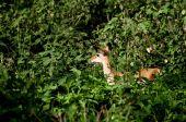Baby Impala among green bushes — Stock Photo