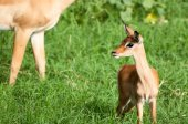 Young Impala in Green Grass with Ears Pointed — Stock Photo