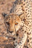 Cheetah Prowling — Stock Photo