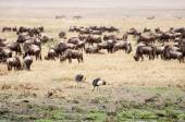 Crowned cranes and buffalo herd. — Stock Photo