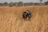 Buffalo in Long Dry Grass — Stock Photo